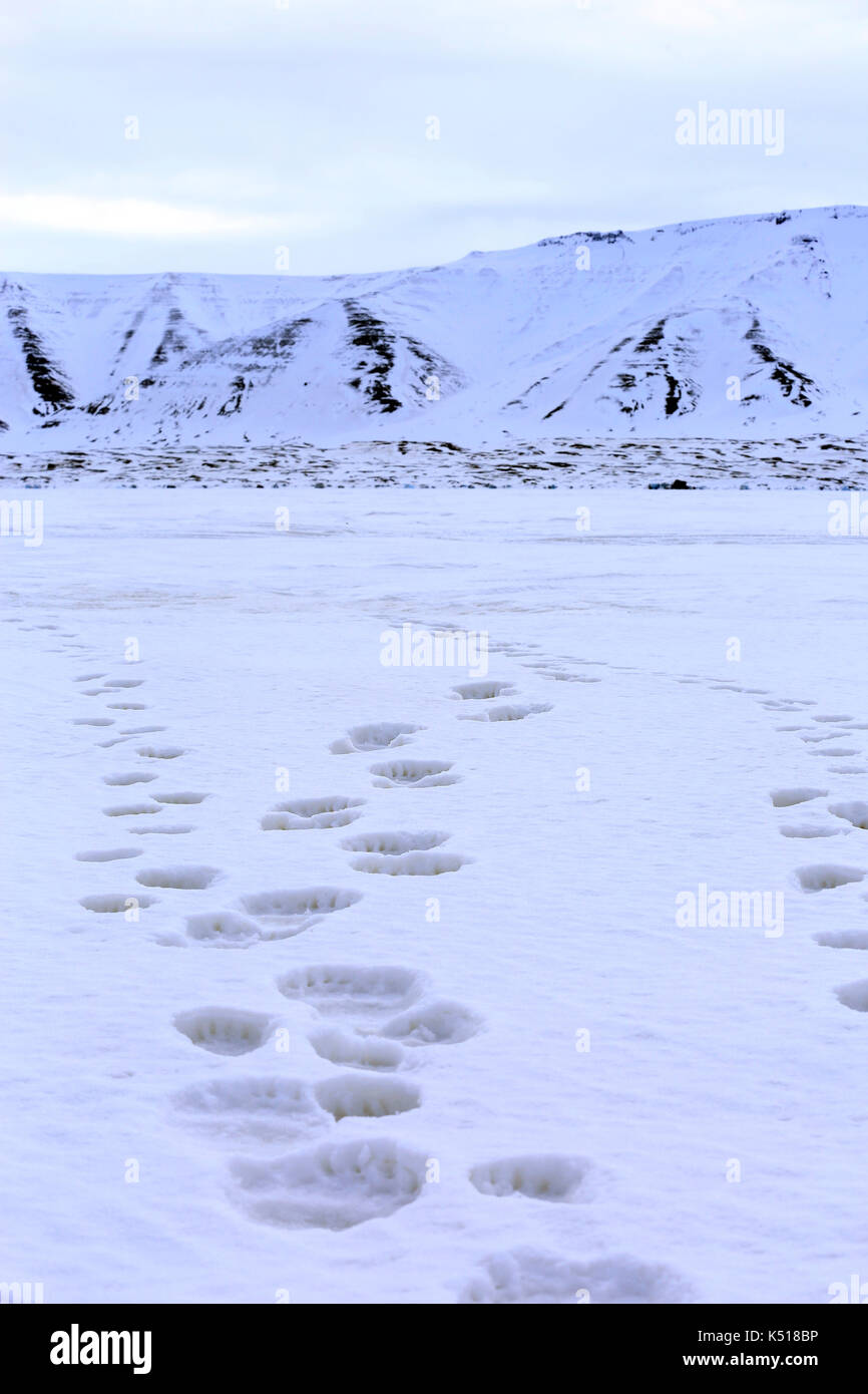 Fresh Tracks on the Ice, from a Polar Bear with two Cubs. Spitsbergen, Svalbard, Norway - Stock Image