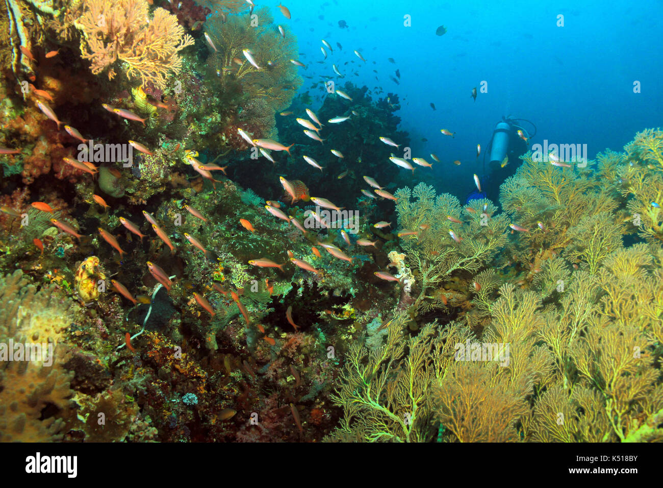 Scuba Diving in Dampier Strait, Raja Ampat, Indonesia - Stock Image