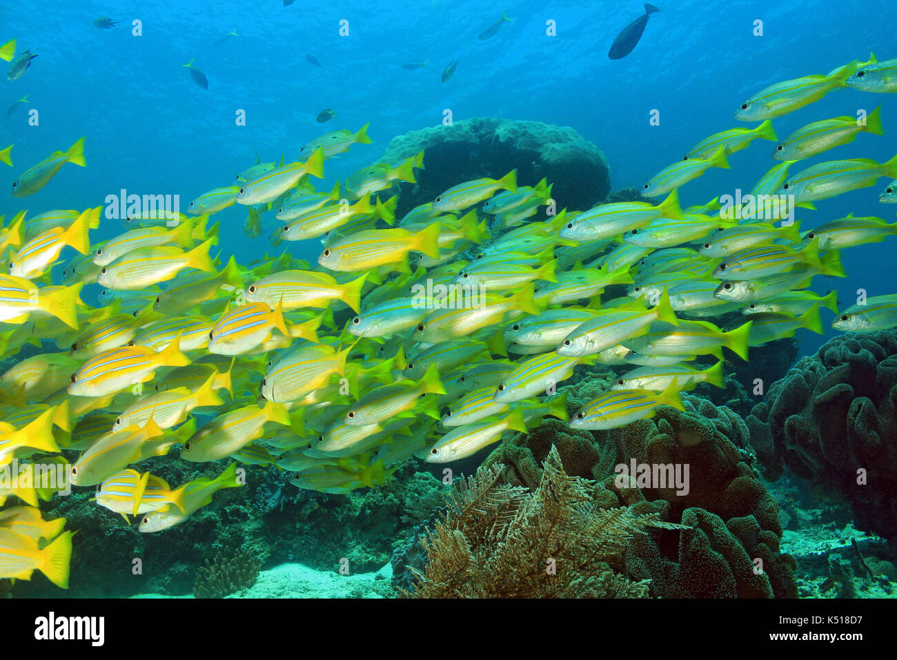 School of Snappers. Mansuar, Raja Ampat, Indonesia - Stock Image