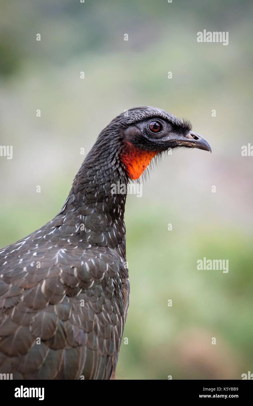 headshot-of-female-dusky-legged-guan-penelope-obscura-jacuacu-at-caraca-K5YBB9.jpg