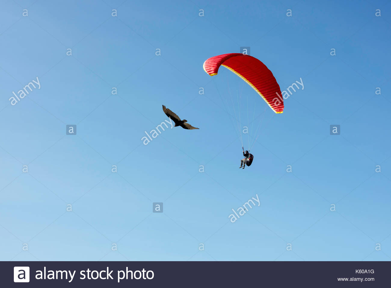 Turkey Vulture paragliding paraglider kiting flying soaring airfoil thermal wind Scarborough Bluffs Toronto Ontario - Stock Image