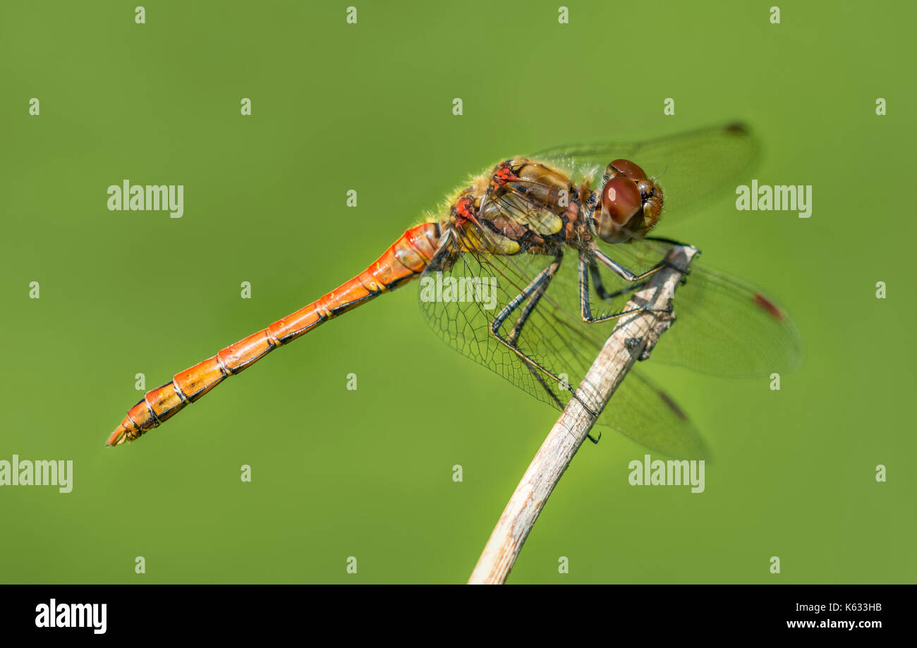 common-darter-dragonfly-immature-male-sy