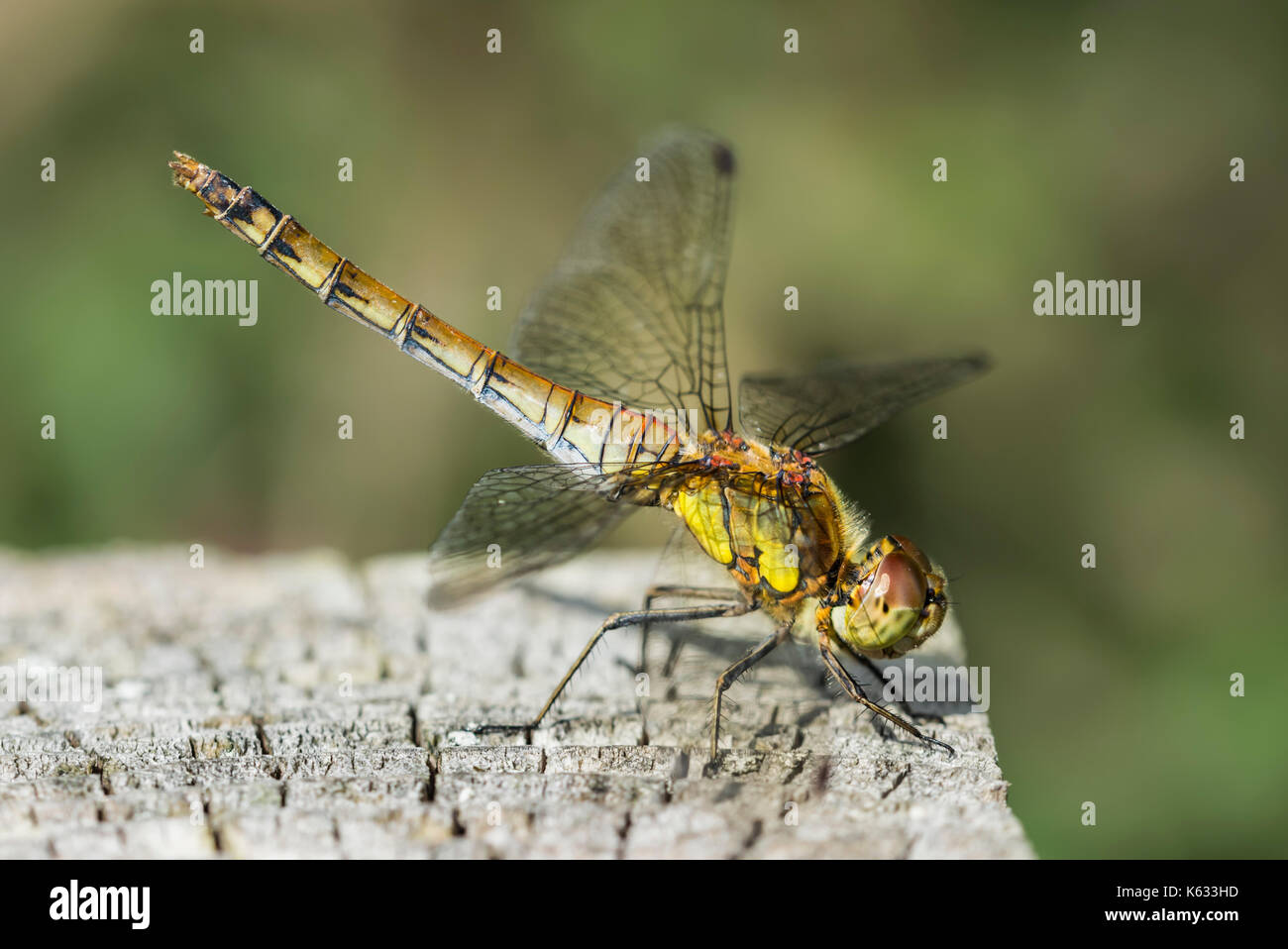 common-darter-dragonfly-female-sympetrum