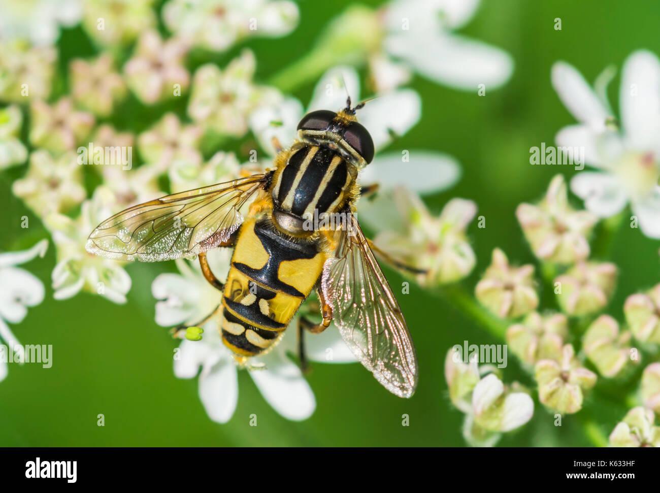 helophilus-pendulus-european-hoverfly-ak