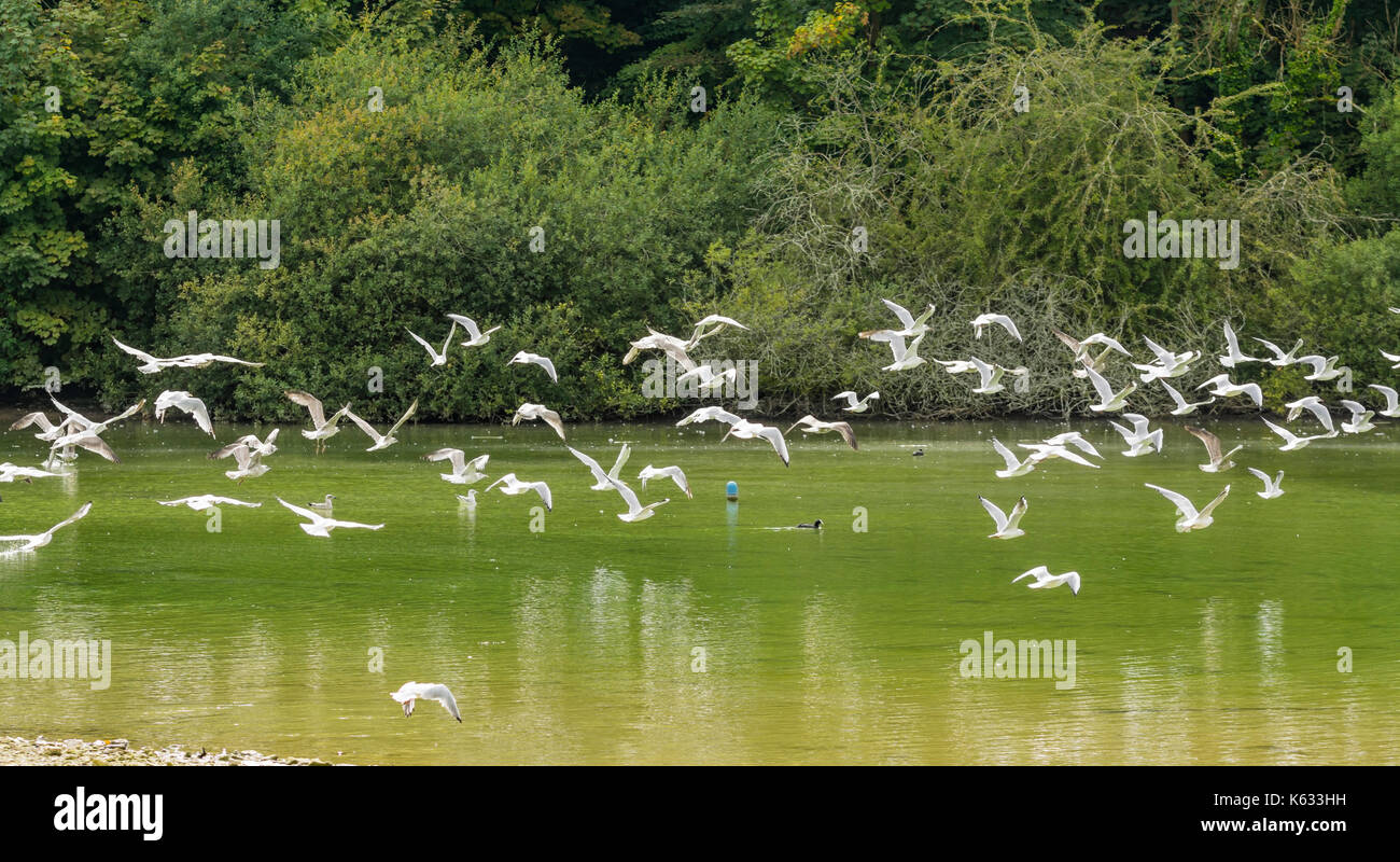 flock-of-seagulls-flying-low-over-a-lake