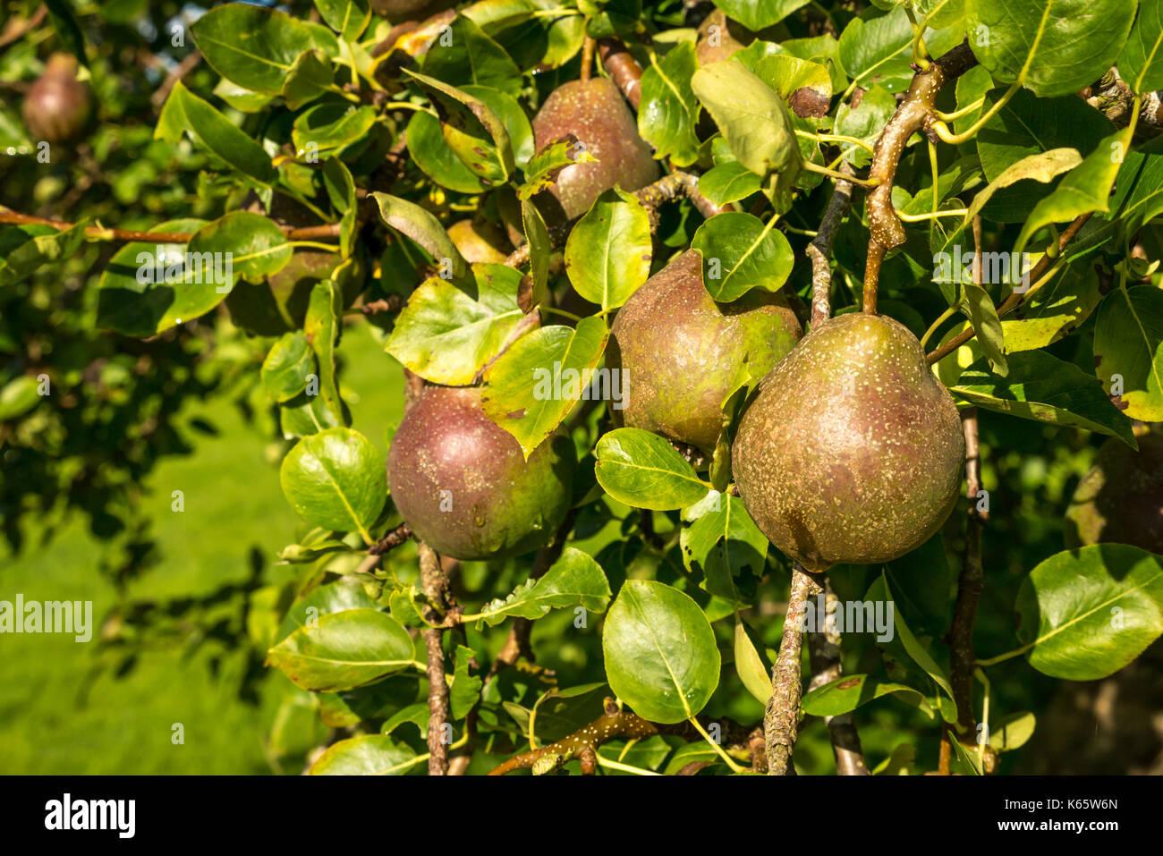 close-up-of-sunlit-ripening-seckel-pears