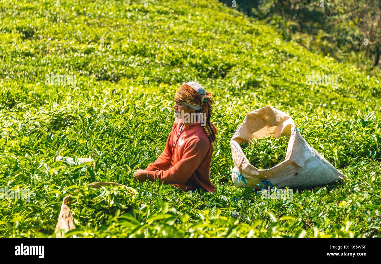 Local young man, tea picker harvests, picks tea, tea plantation, cultivation of tea, Cameron Highlands, Tanah Tinggi - Stock Image