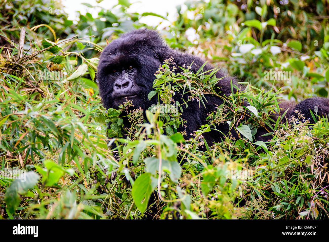 female mountain gorilla peering through the undergrowth - Stock Image