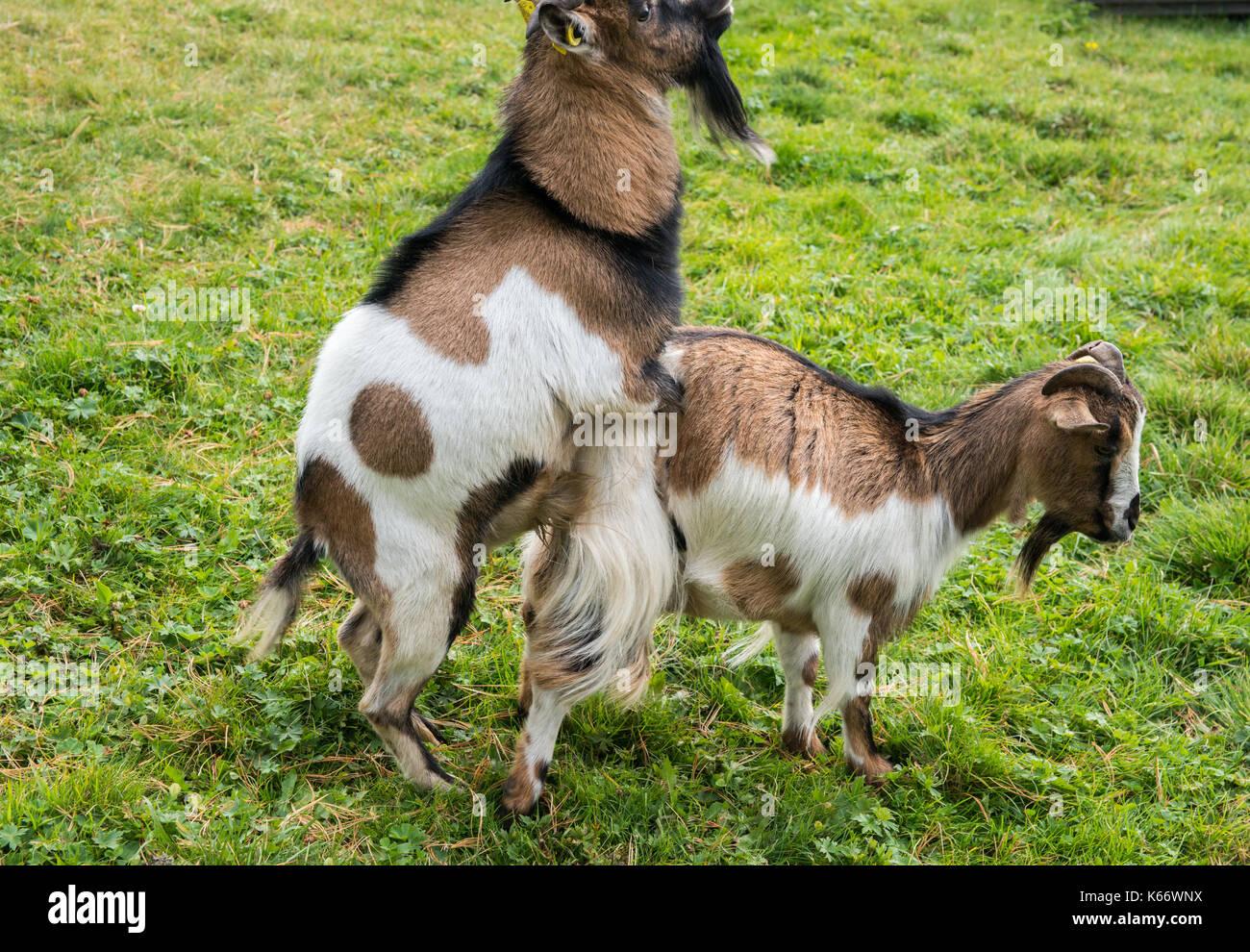 goats-procreating-K66WNX.jpg