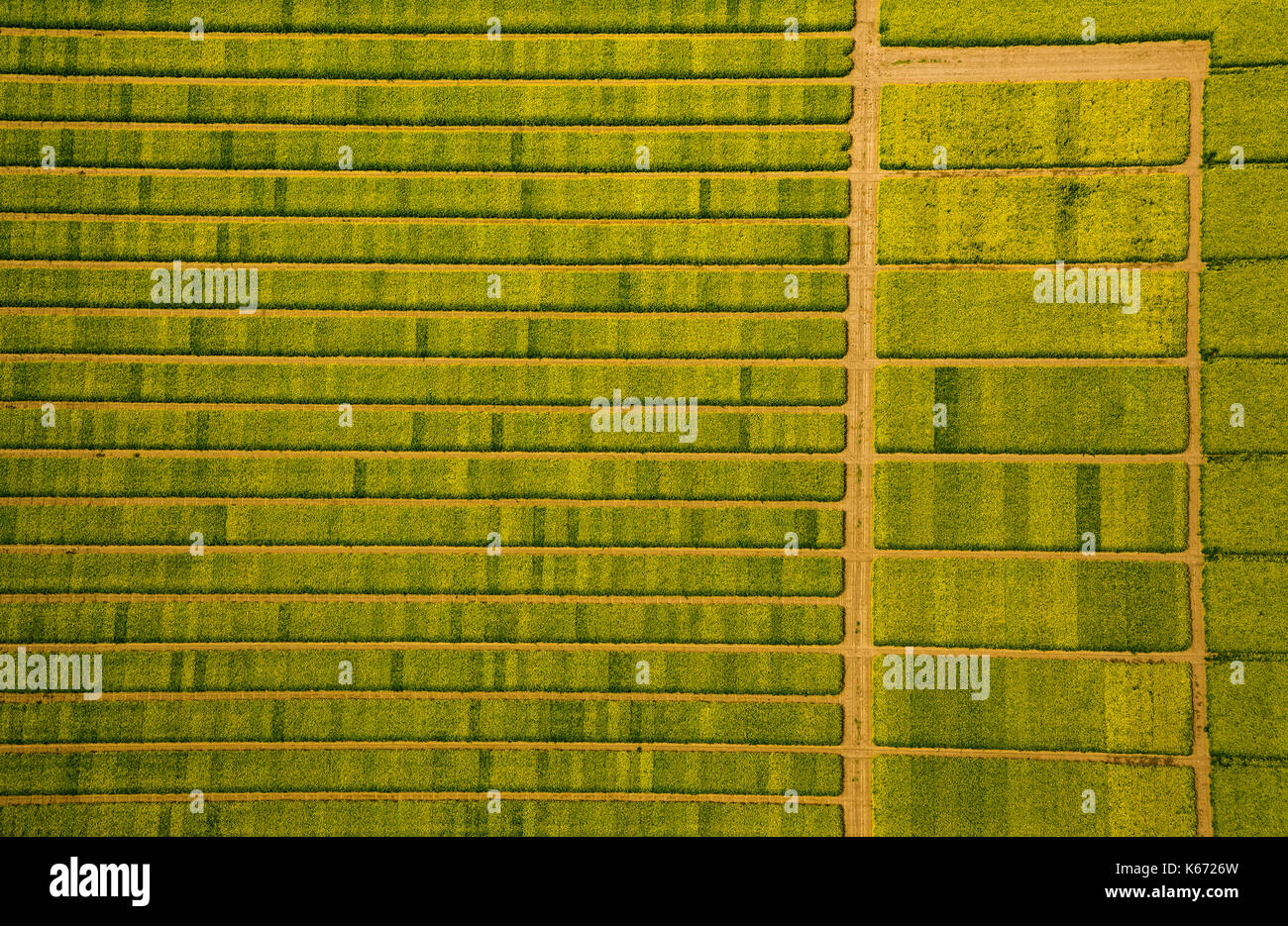 Canola field with divisions for Testsaat, Landwirtschft, agricultural cropland, agricultural test site, Saatoptimierung, - Stock Image