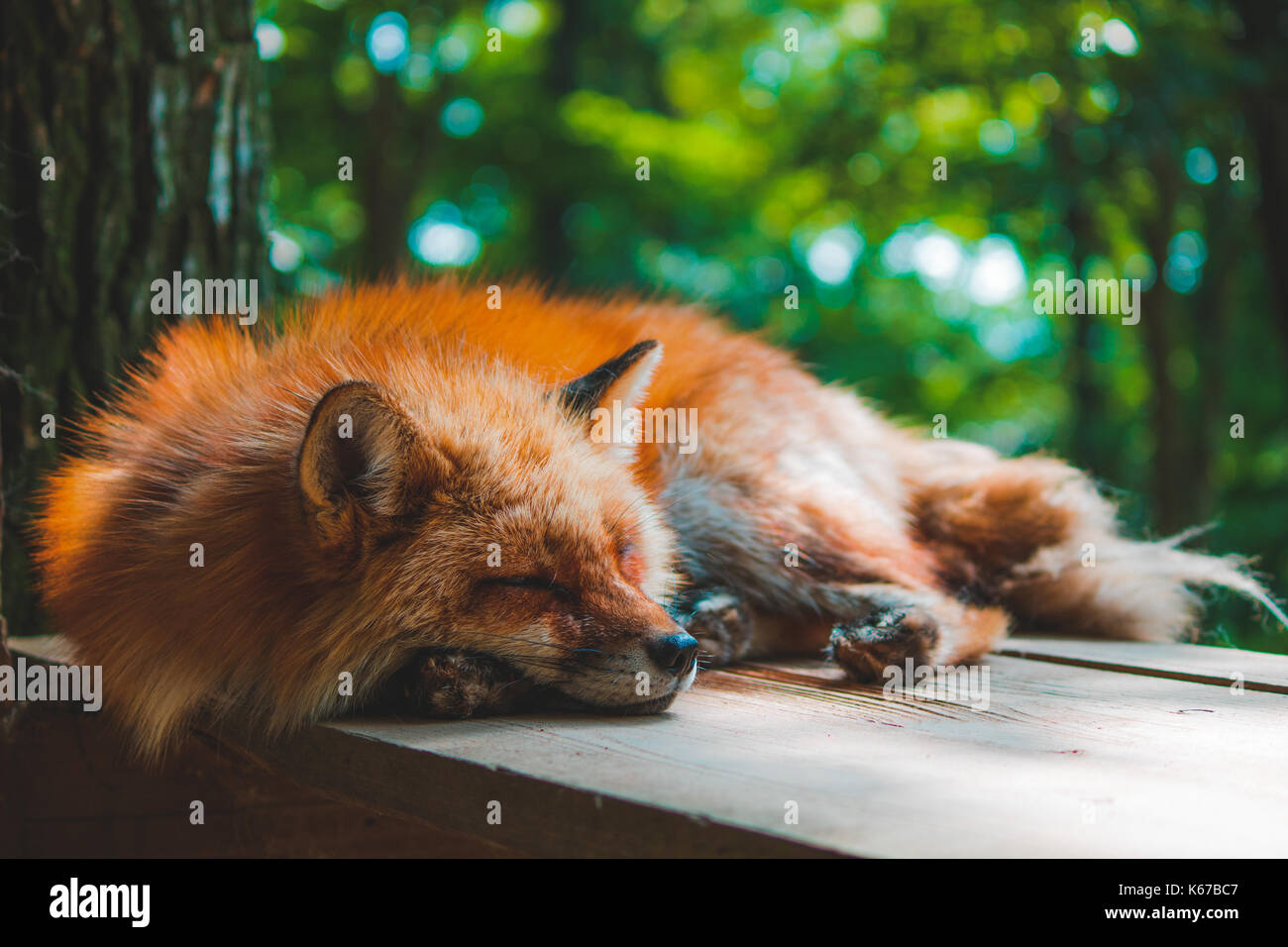 colorful-close-up-shot-of-extremely-cute-and-relaxed-sleeping-fox-K67BC7.jpg