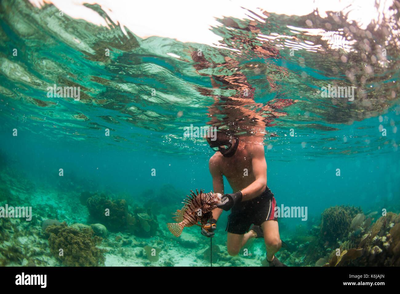 Man gently handling lion fish after spearing it, Atlantic Ocean - Stock Image
