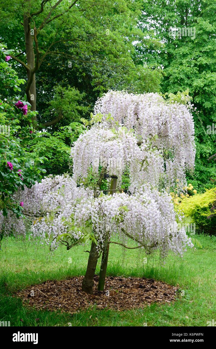 Wisteria tree stock photos wisteria tree stock images - Glicinia en maceta ...