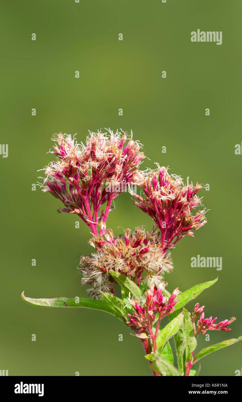 eupatorium-cannabinum-plant-also-known-a