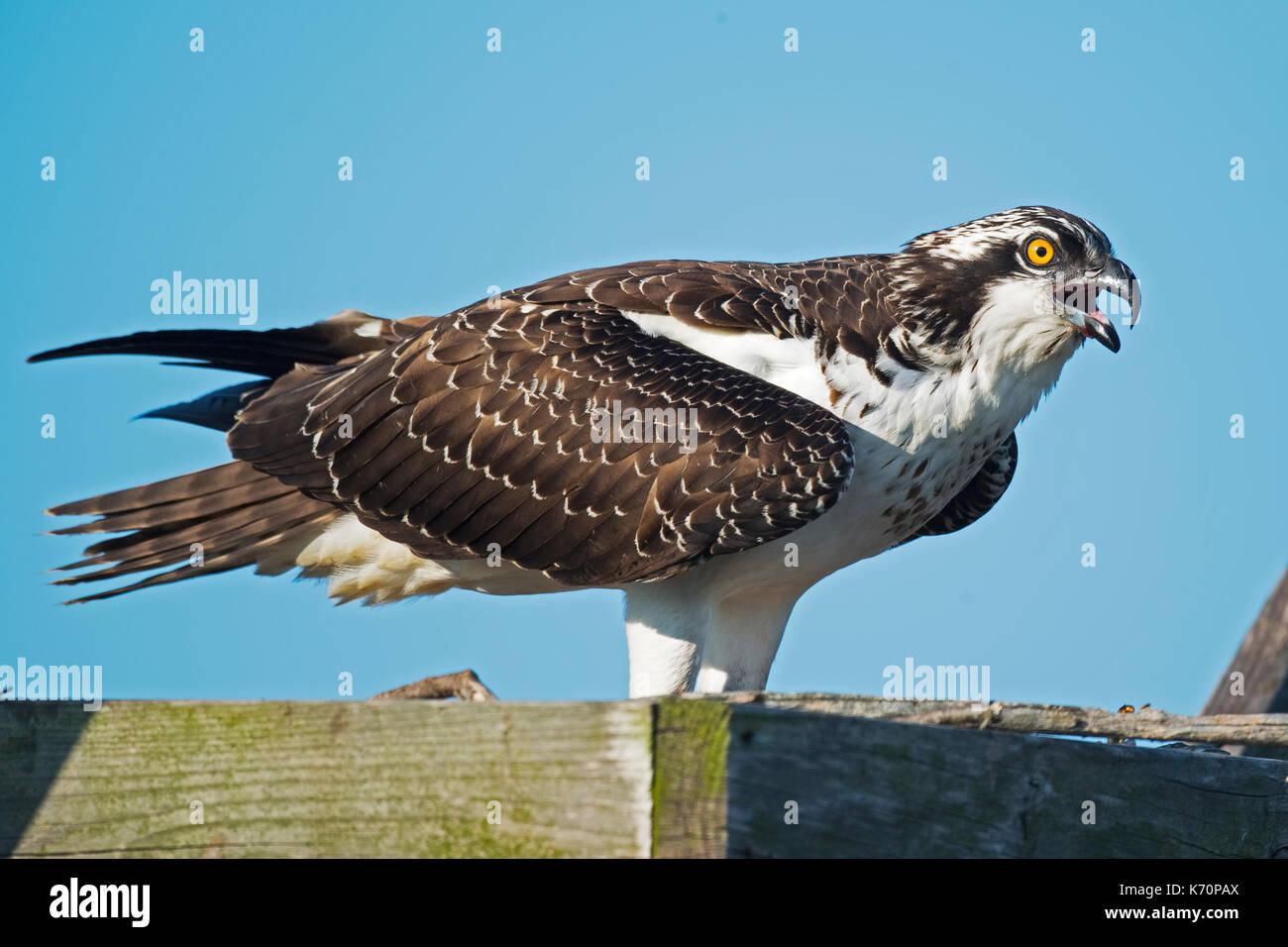 Juvenile Osprey - Stock Image
