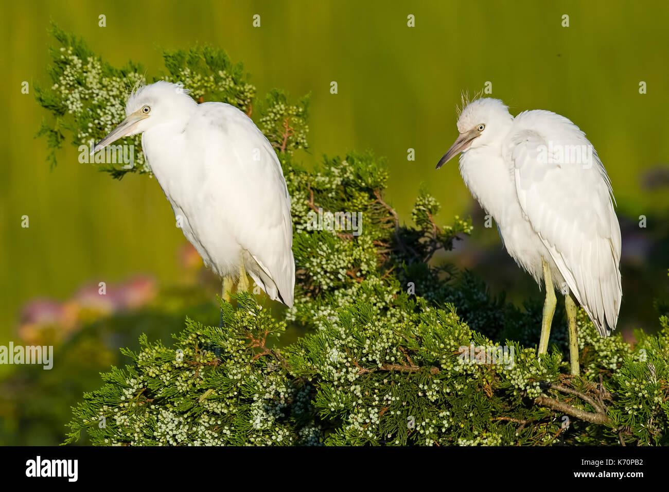 Pair of Juvenile Little Blue Herons - Stock Image