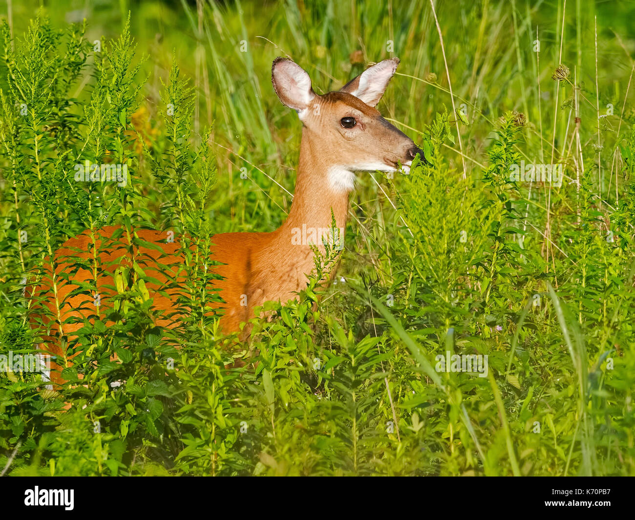 White-tailed Deer - Stock Image