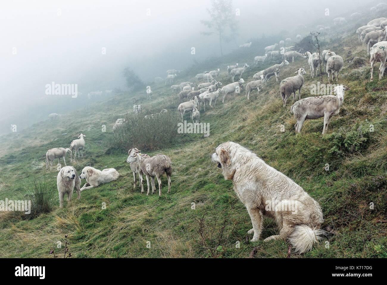 Sheep Dog Watching Sheep Dog Stock Photos & Sheep Dog