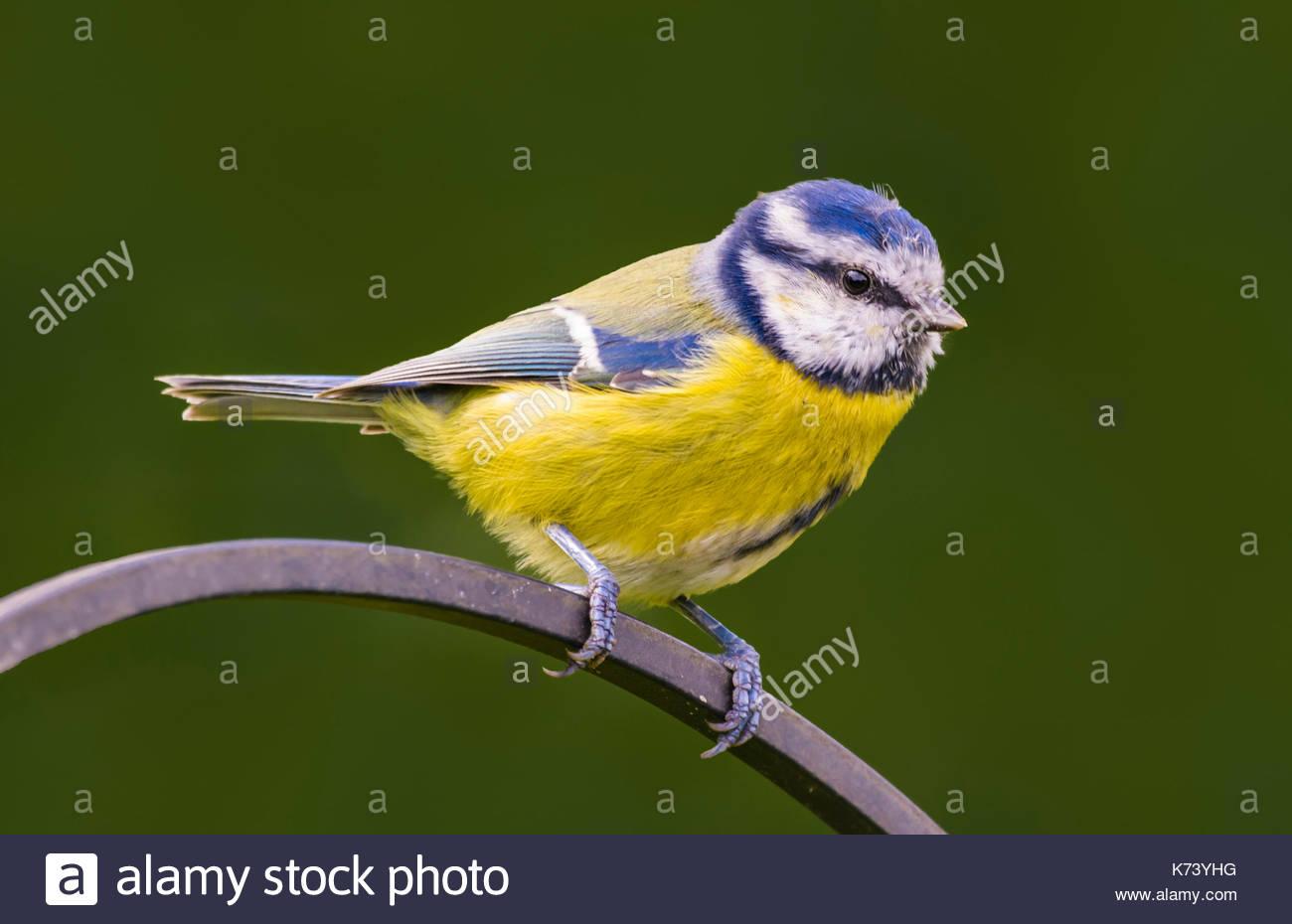 cyanistes-caeruleus-eurasian-blue-tit-ad