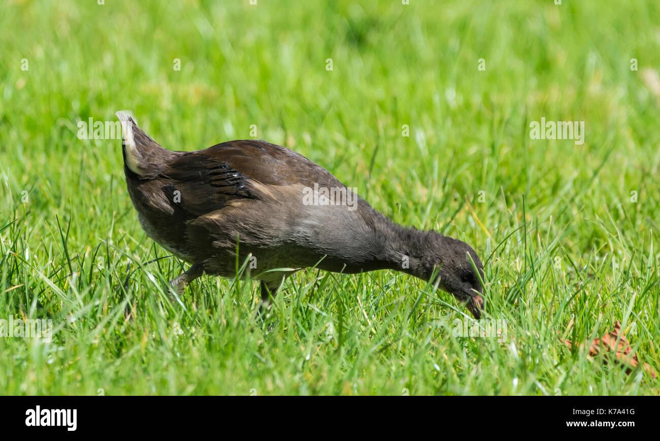 Juvenile Moorhen (Gallinula chloropus) on land pecking at grass in the UK. - Stock Image
