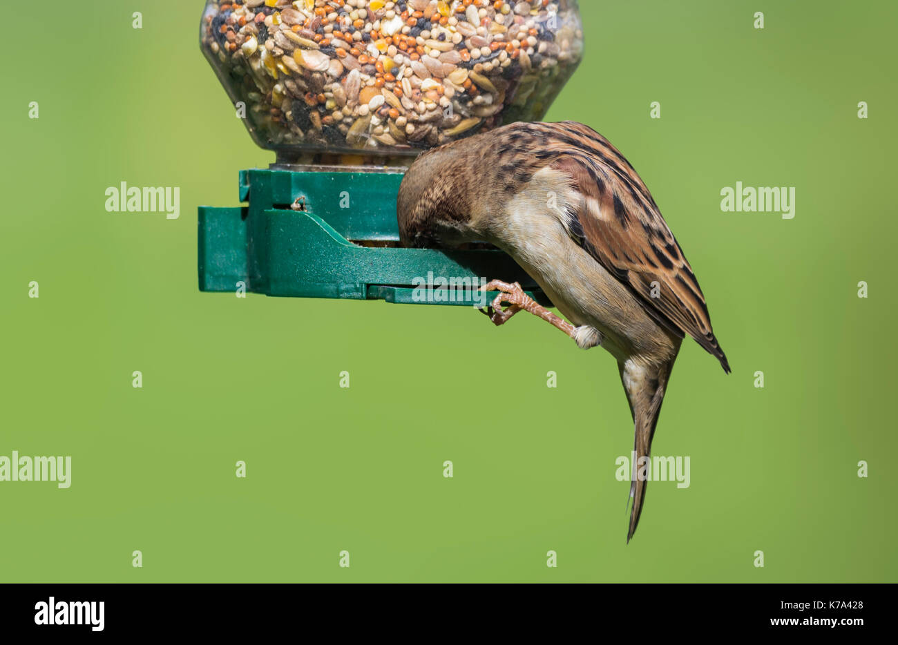 adult-male-house-sparrow-passer-domestic
