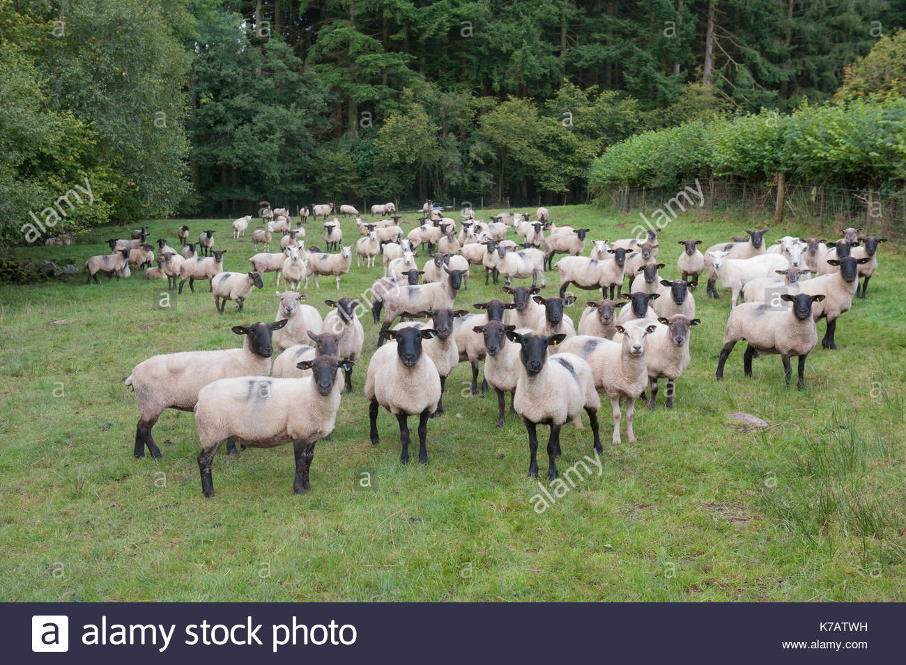 Sennybridge, UK. 15th Sep, 2017. UK Nature - inquisitive sheep. Do you ever have the feeling you are being looked Stock Photo