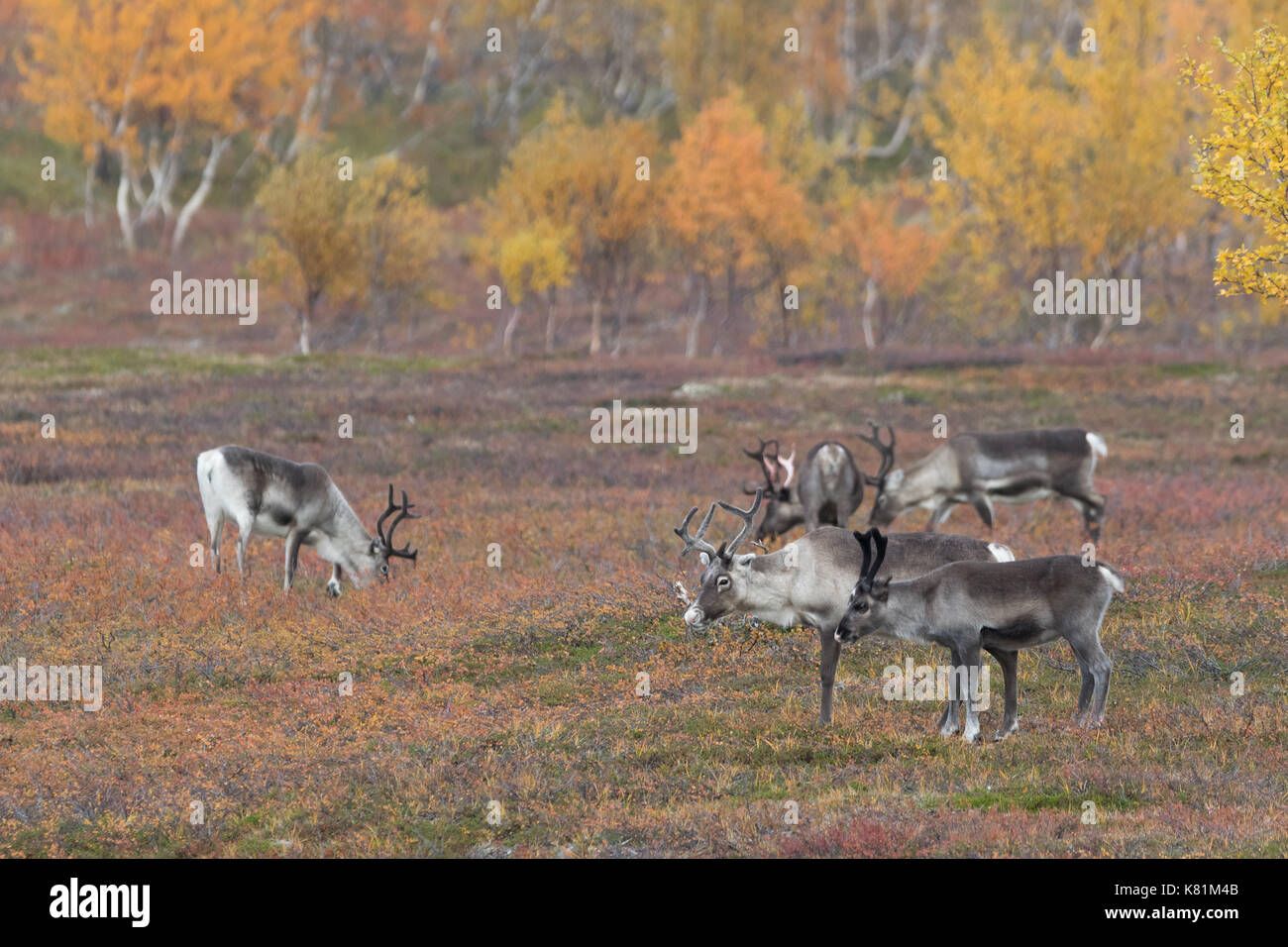 reindeers-at-the-mountain-in-finnmark-no