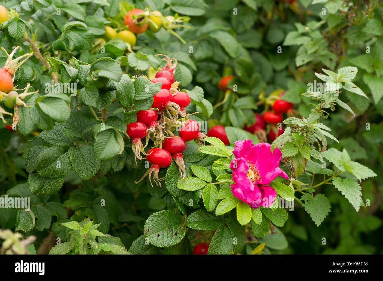 Rose hips with flowers. - Stock Image