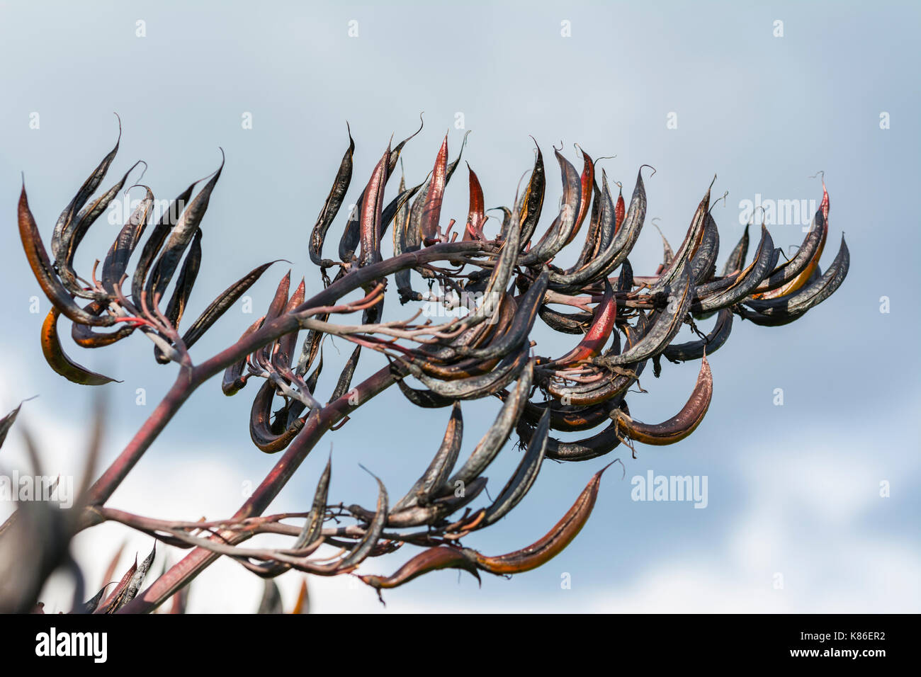 black-and-red-seed-pods-hanging-from-a-t