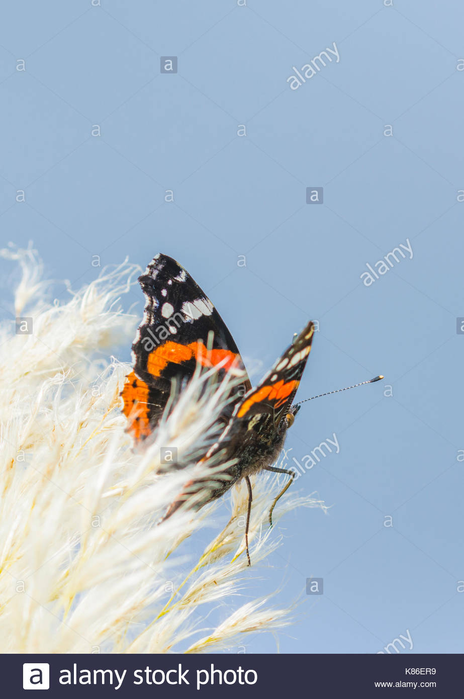 red-admiral-butterfly-vanessa-atalanta-r