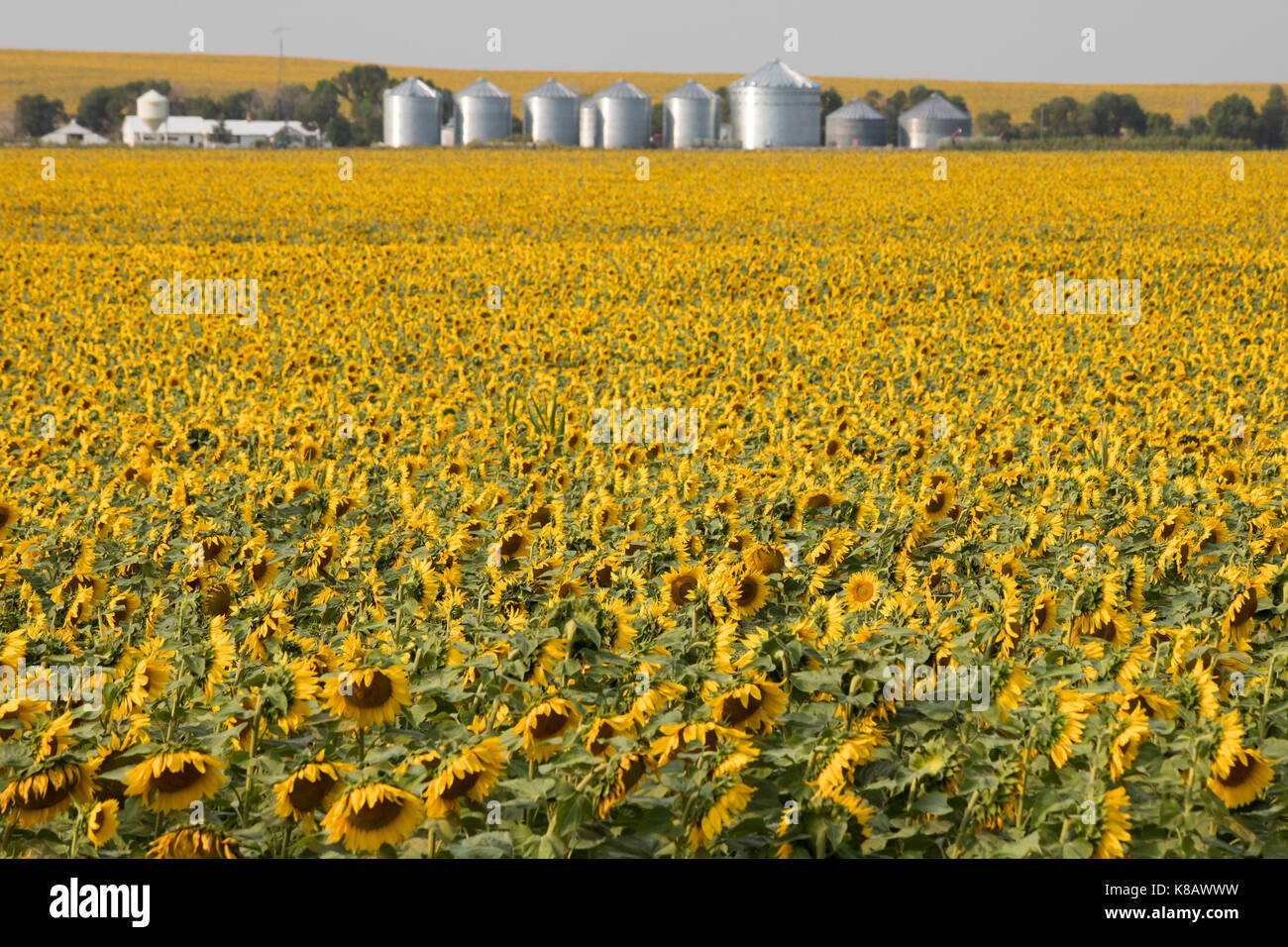 Pine Ridge, South Dakota - Sunflowers growing on a farm on the Pine Ridge Indian Reservation. - Stock Image