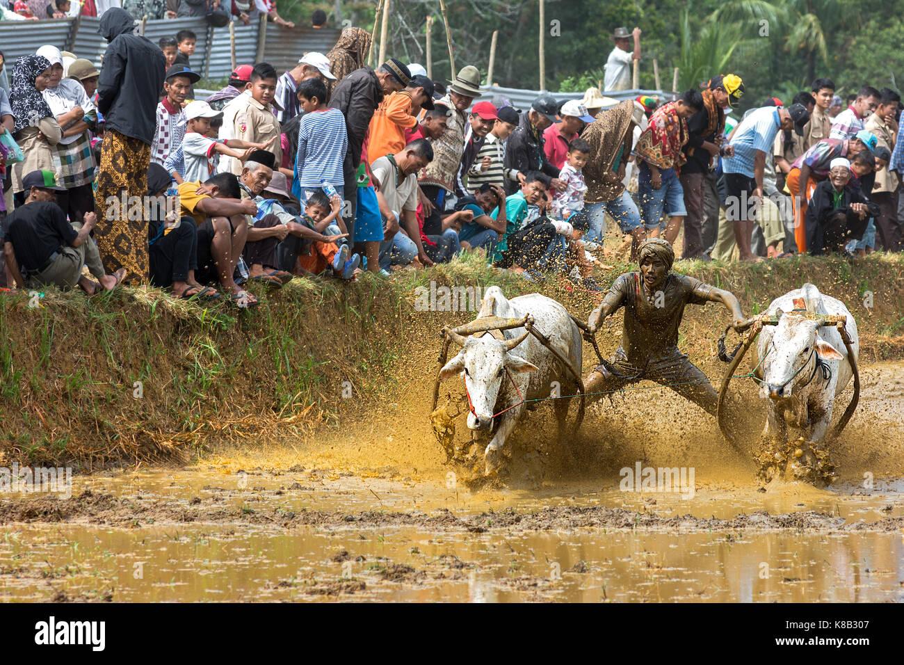 pacu-jawi-cow-racing-jockey-muddies-the-crowd-in-west-sumarta-indonesia-K8B307.jpg