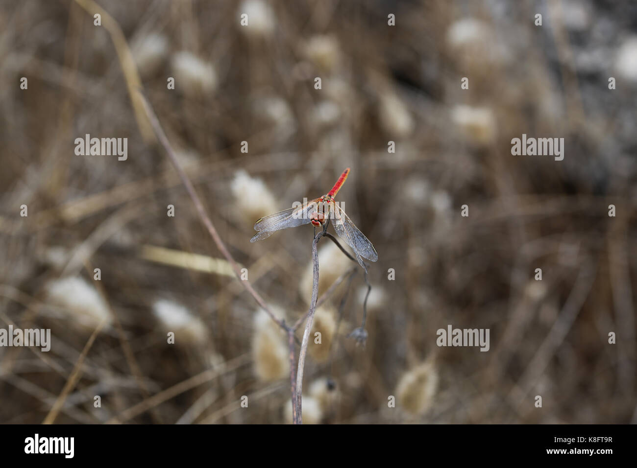 red dragonfly - Stock Image