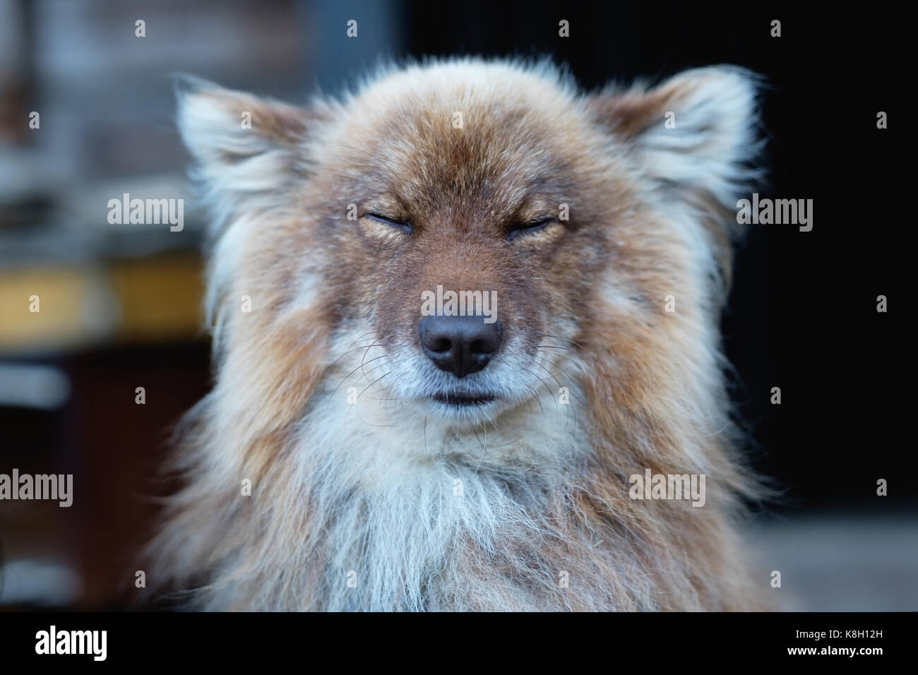 Cunning red dog closes his eyes and squintes from the sun. - Stock Image