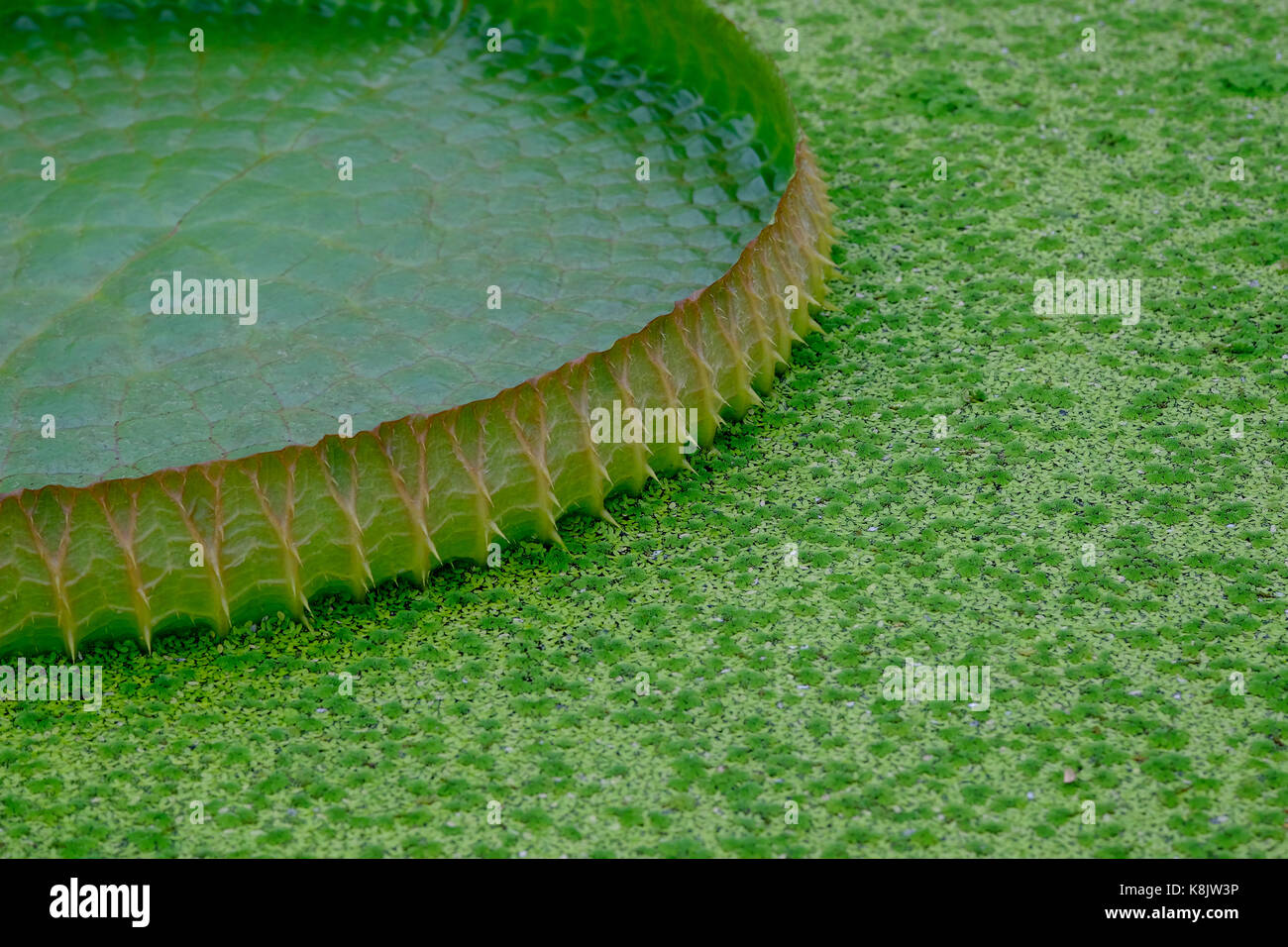 Large Lily Pads Stock Photos Large Lily Pads Stock Images Alamy