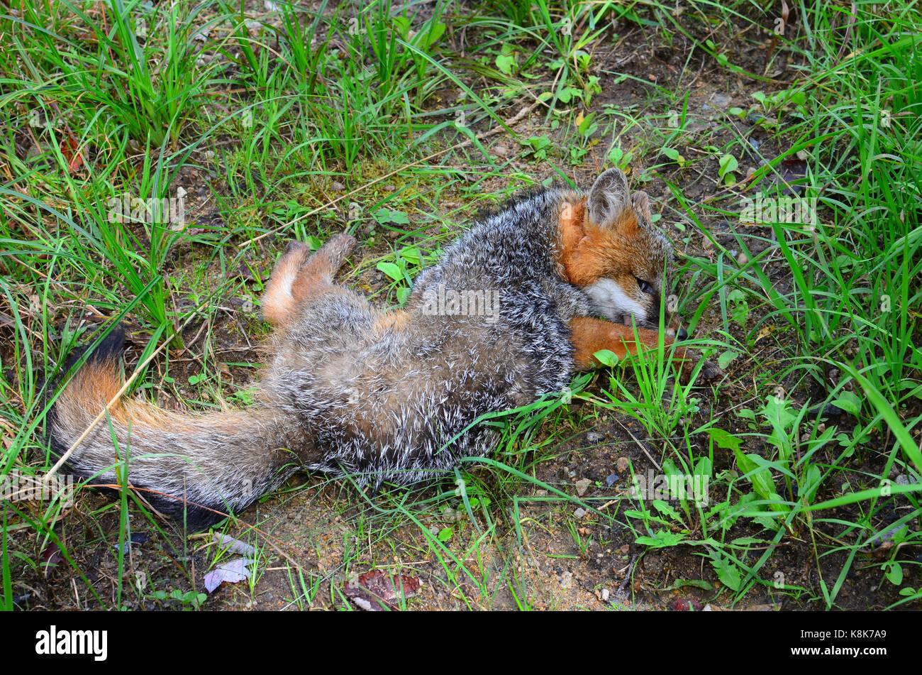 dead-gray-fox-urocyon-cinereoargenteusde