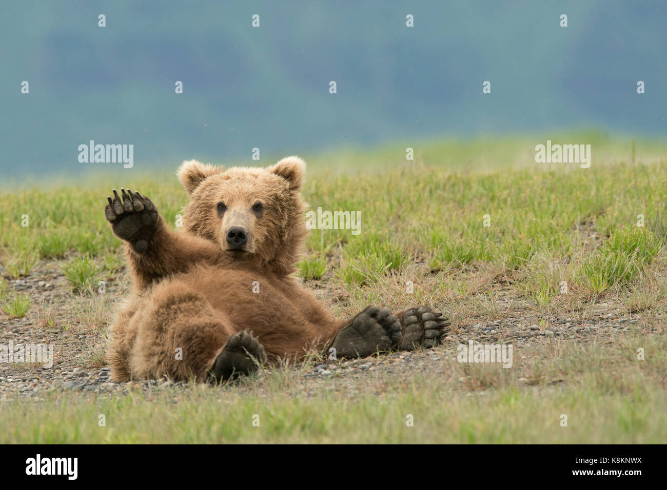 picture of adult adult brown bear