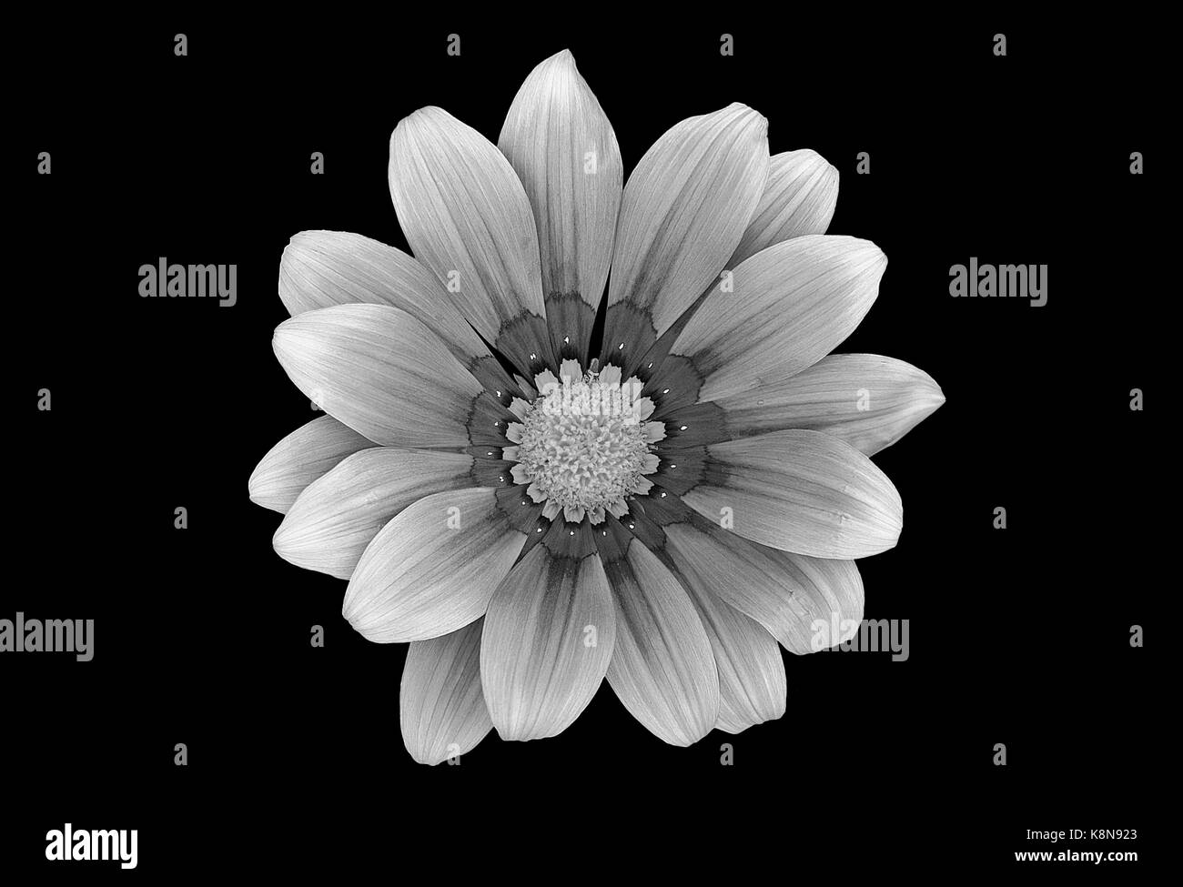 Black And White Gerbera Daisy 9472355 Cours Particuliers Domicilefo