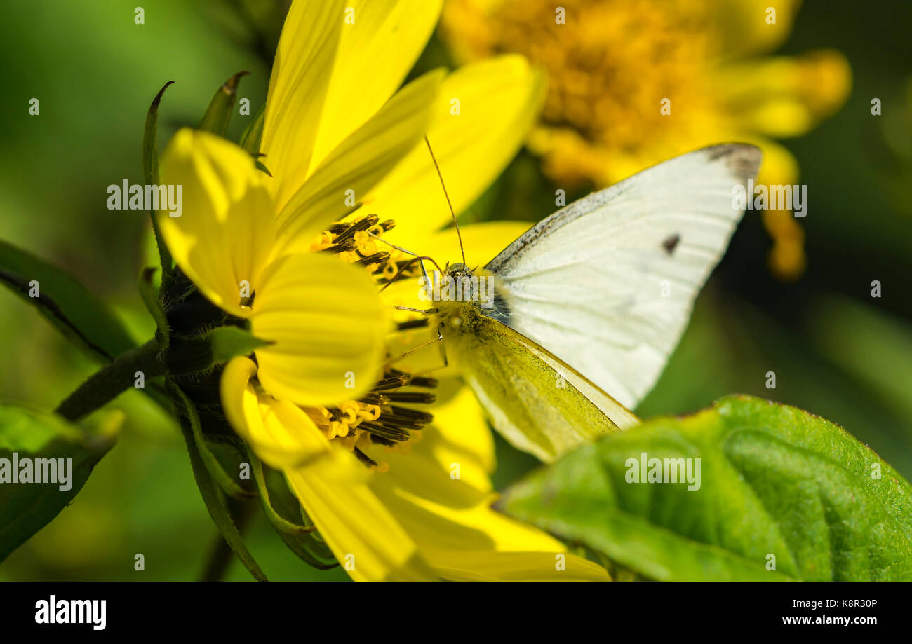 small-white-butterfly-pieris-rapae-on-a-