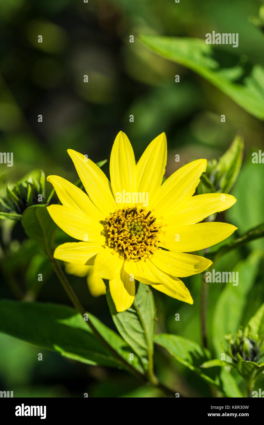 flower-from-a-helianthus-plant-a-perenni