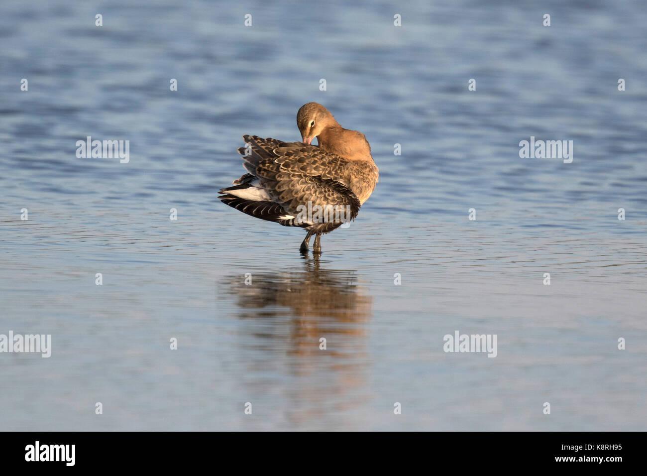Juvenile Black tailed Godwit Icelandic race. - Stock Image