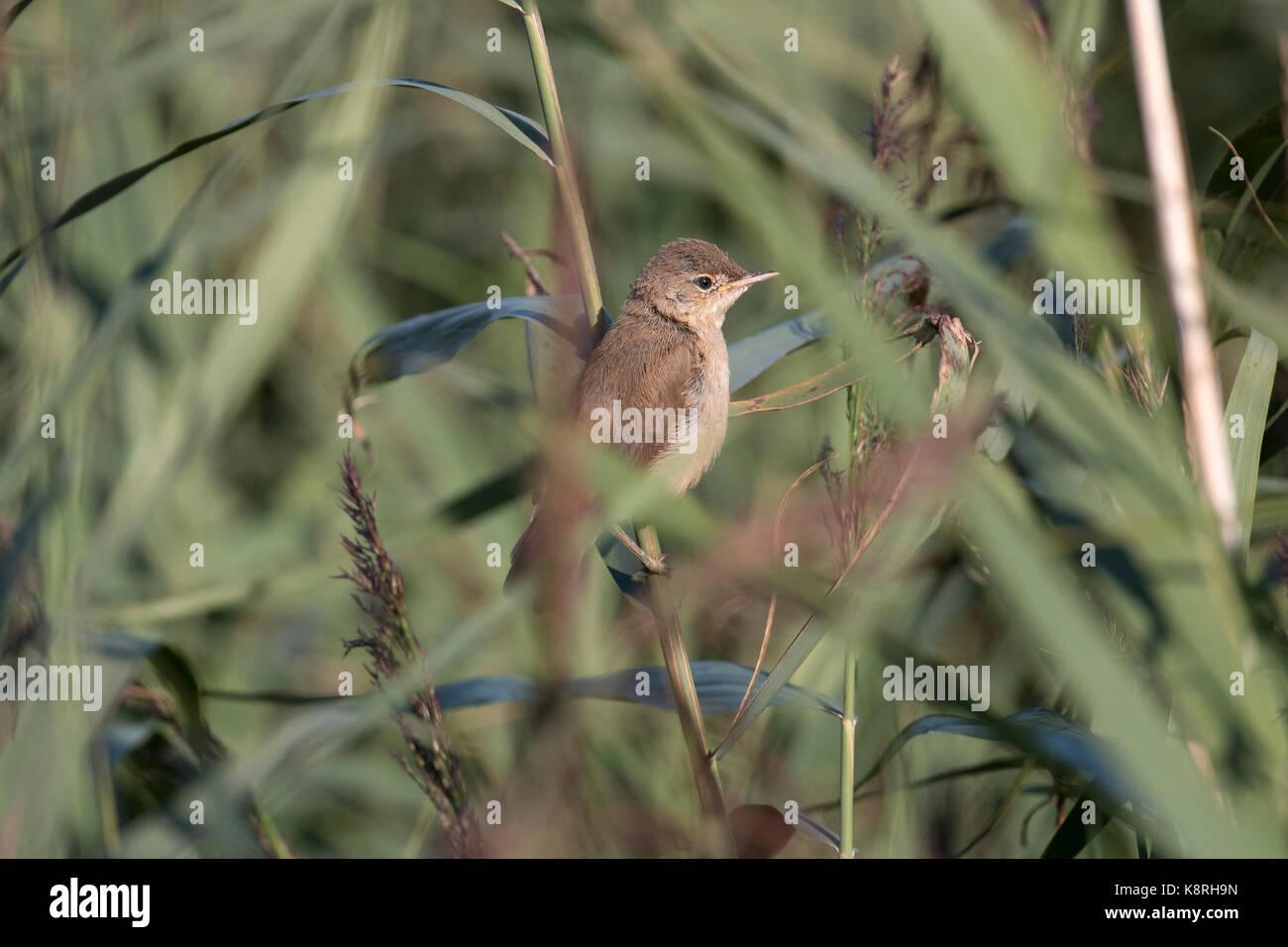 Reed Warbler juvenile - Stock Image