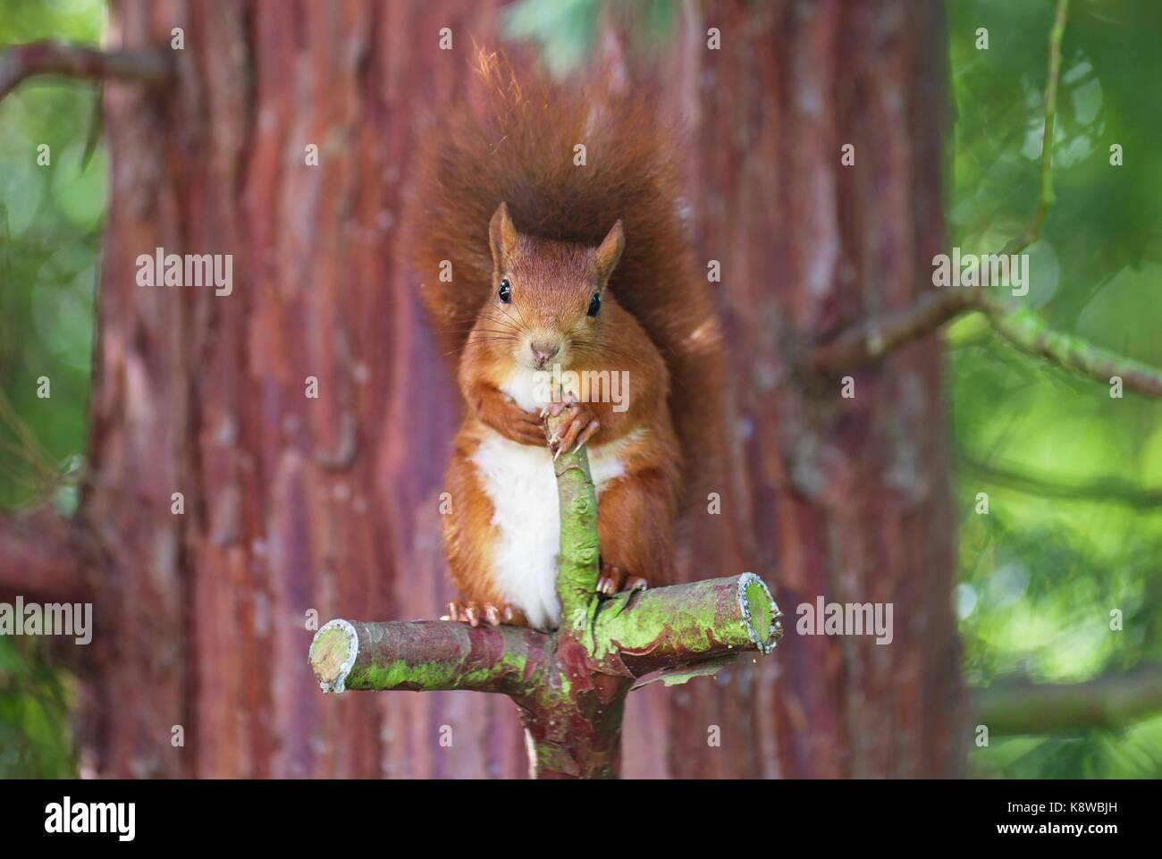 eurasian-red-squirrel-sitting-on-a-cross