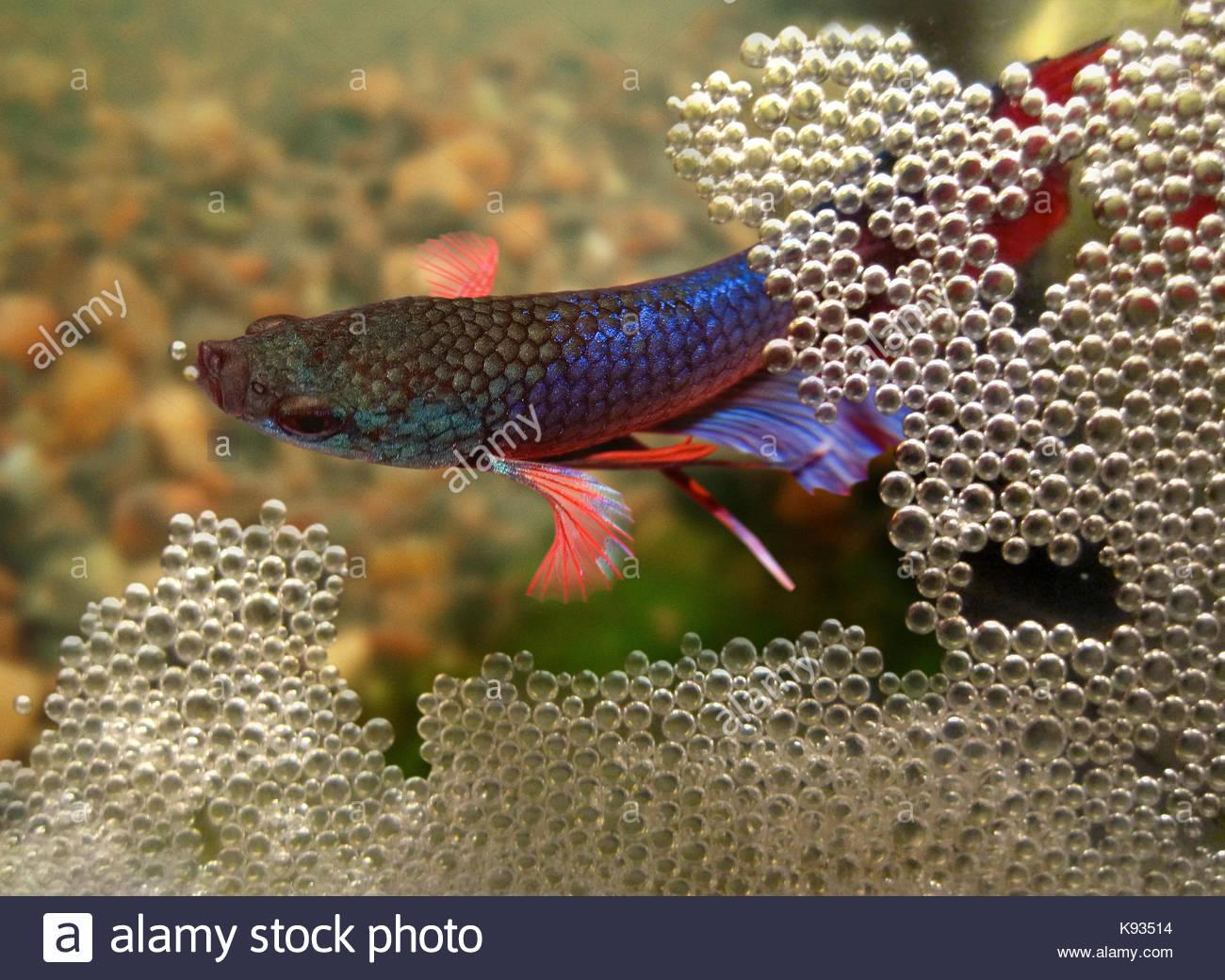 Betta fish aquarium stock photos betta fish aquarium for Bubbles in betta fish tank