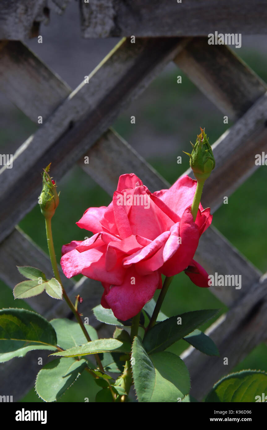 Roses and wooden fence stock photos roses and wooden fence stock images alamy for The gardens of the american rose center