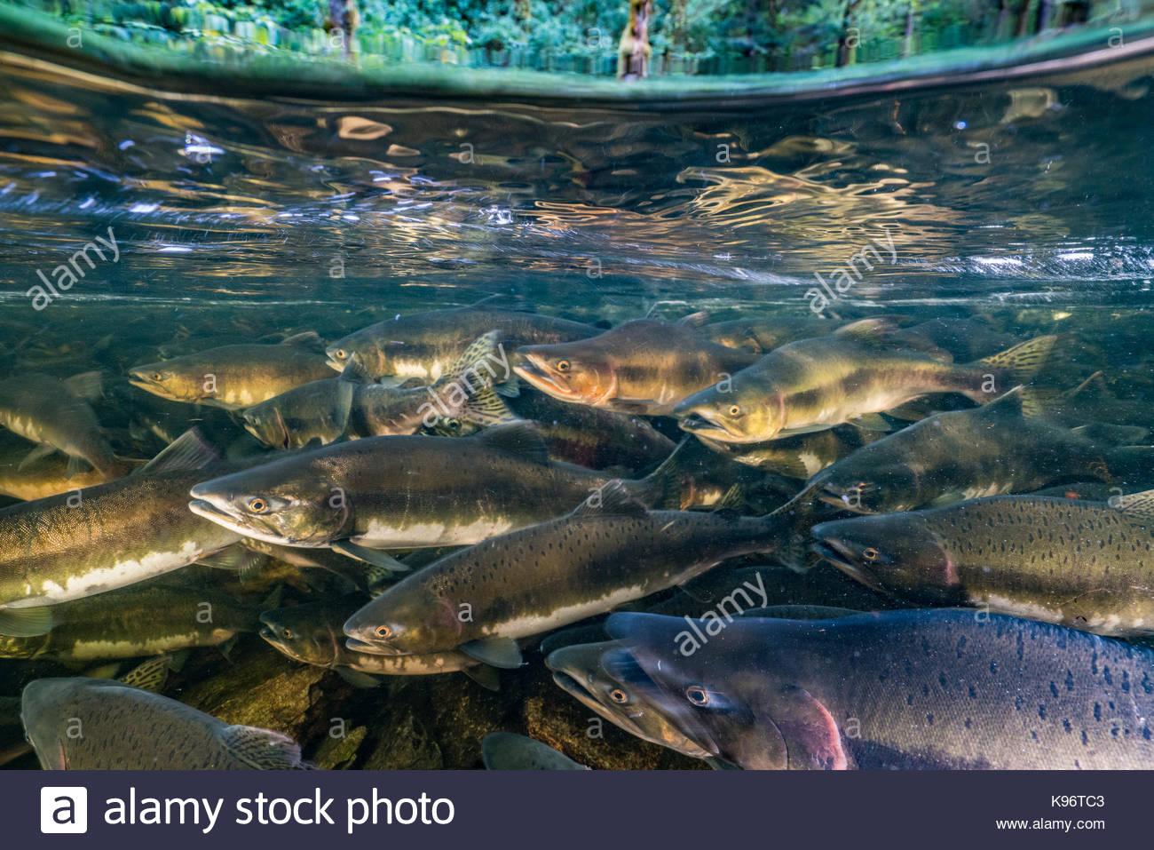 School of chinook salmon swim upstream to compete for spawning ground. - Stock Image