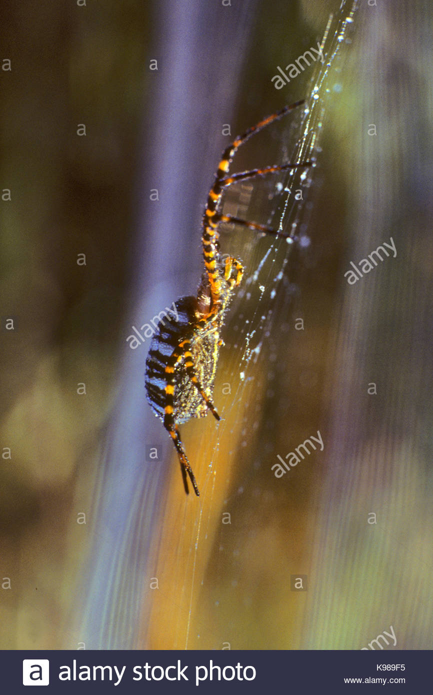 Argiope Spider in Web at Dawn, Phillip Burton Wilderness, Point Reyes National Seashore, California - Stock Image