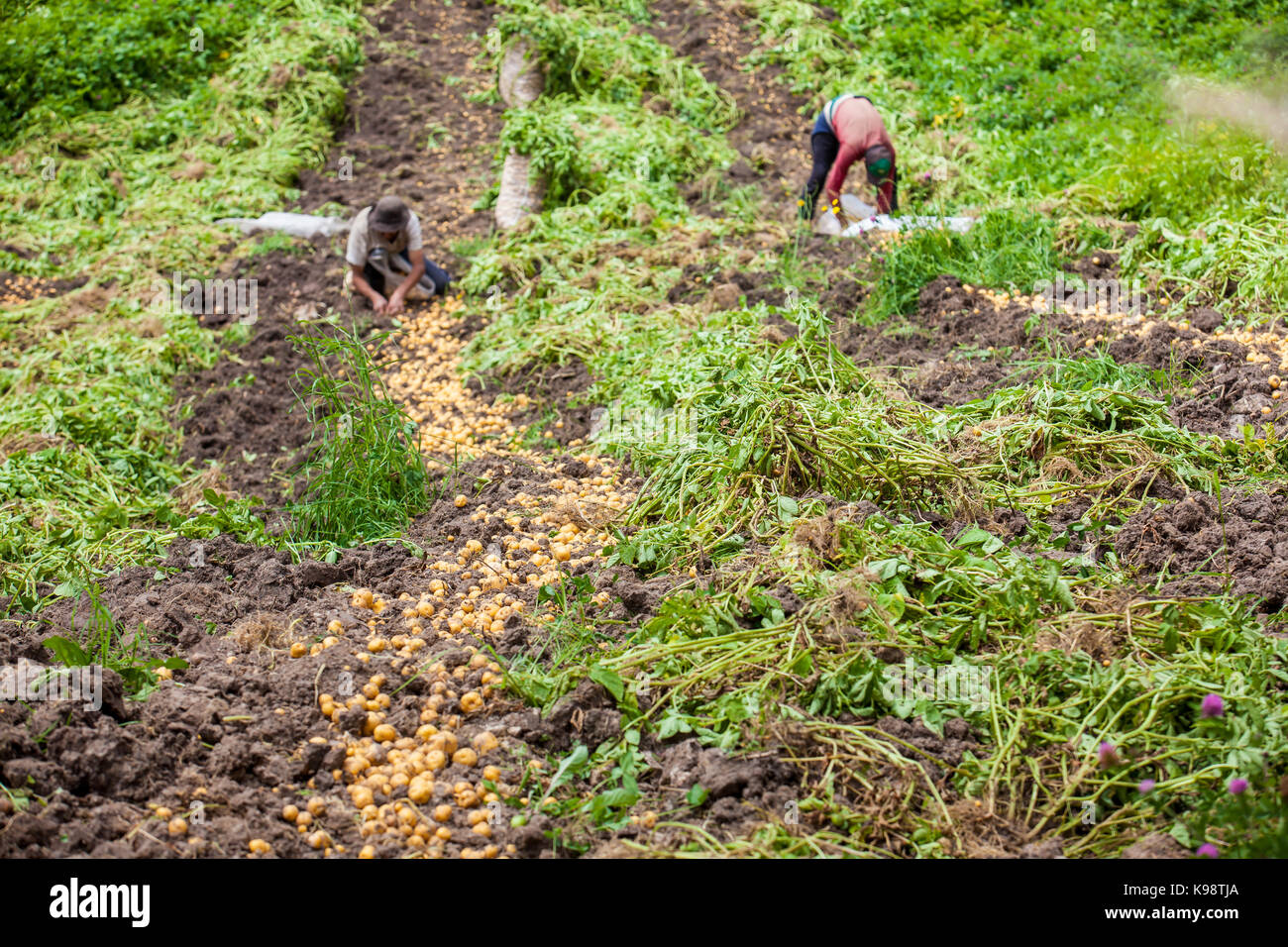 potato plantation Potato grow anywhere - and farmers have fine-tuned the art of planting for the  greatest profit but in your garden you want to plant for the best quality.