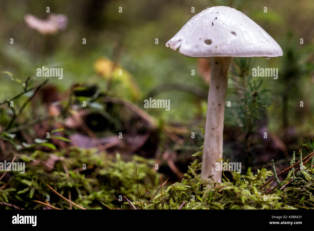 Amanita virosa shot from parallel level in landscape - Stock Image
