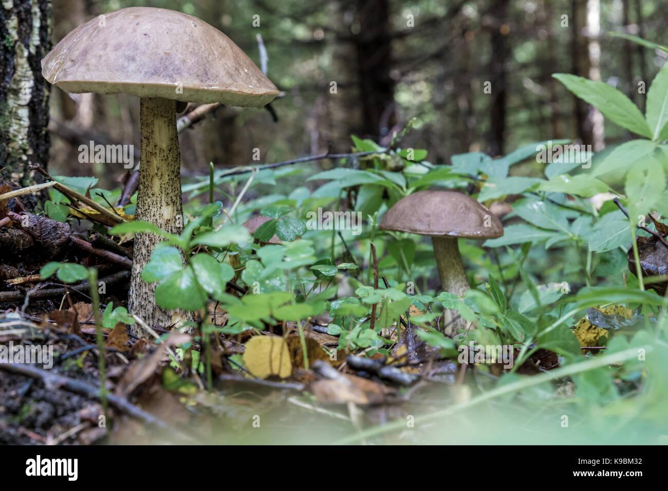 Leccinum scabrum in close-up - Stock Image